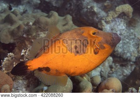 Whitespotted Filefish Orange Phase On Coral Reef Off The Tropical Island Of Bonaire In The Caribbean