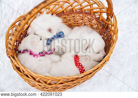 Four White Puppies Sleep In A Basket. Breeding Dogs Breed Japanese Spitz.