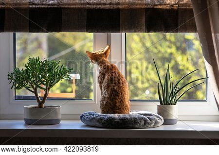 Red Cat Devon Rex Sits On A Pillow On The Windowsill And Looks Out Into The Street. There Are Beauti