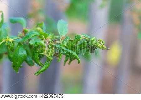 The Plant Is Affected By The Aphid Pest, The Young Leaves Are Twisted.
