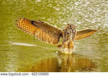 Detailed Close Up Of A Wild Eagle Owl. The Bird Of Prey Flies With Outspread Wings Just Above The Wa