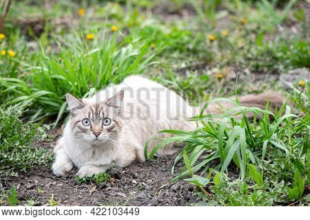 A Beautiful Fluffy White Cat Of The Neva Masquerade Breed In Summer Walks On Green Grass