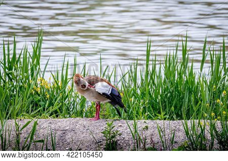 Egyptian Goose Standing On Land In Grass Area During Spring. Alopochen Aegyptiaca In Switzerland.