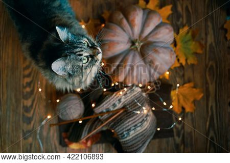 Top View Of The Cat, Pumpkin And Scarf. Autumn Mood. Furry Cat, Orange Pumpkin, Fall Leaves, Yarn, S