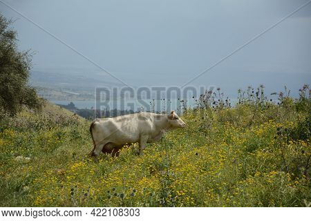 White Cow Is Grazing On The Green Hills Of Galilee Under Arbel  Mount. Arbel National Park And Natur