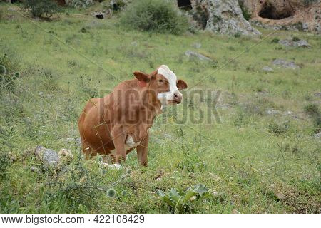 Brown Cow Is Grazing On The Green Hills Of Galilee Under Arbel  Mount. Arbel National Park And Natur