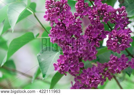 Lilac Purple Branch Flower Bloom, Spring, Summer Background. Happy Lucky Five-petalled Flower And Si