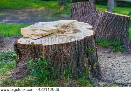 A Stump From A Huge Tree In The Park, Cutting Down Trees In The Summer.