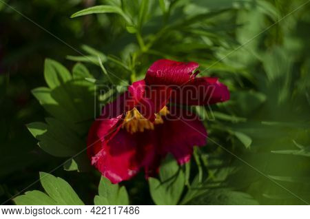 Pistil And Yellow Stamens Of Red Peony, Close-up