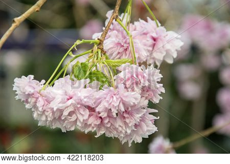 Pink Sakura Flower With Nature Floral Background