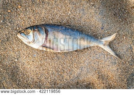 A Close-up Look At A Decaying Dead Fish On A New Jersey Beach.