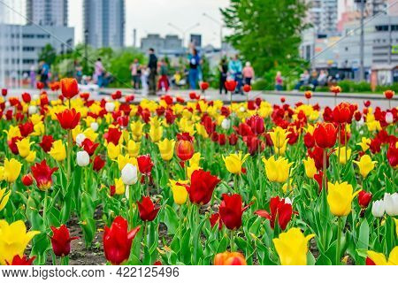 A Bright, Rich Color Photo Of Colorful Tulips In A Flower Bed In A City Park Against The Background