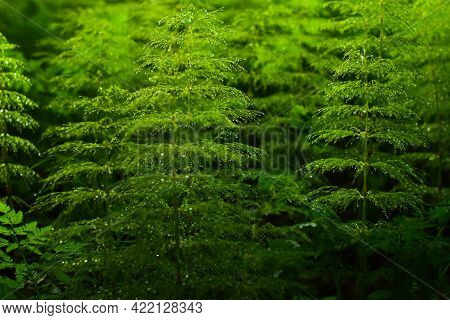 Horsetail With Dew Drops In The Shade Of The Forest, Background, Screensaver
