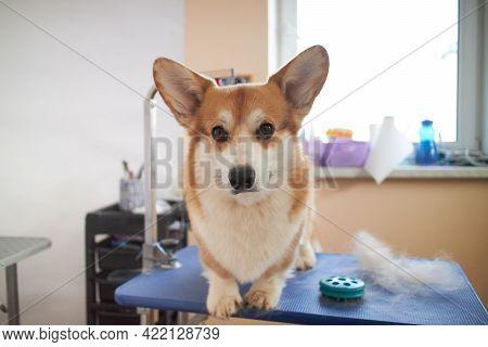 Funny Portrait Of A Pembroke Welsh Corgi Dog After Trimming