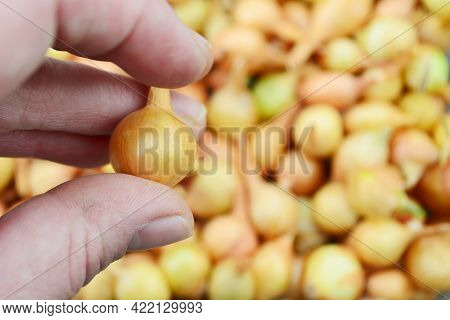 The Farmer's Hand Holds A Small Onion For Planting In The Garden And Harvesting.onion Seedlings On T