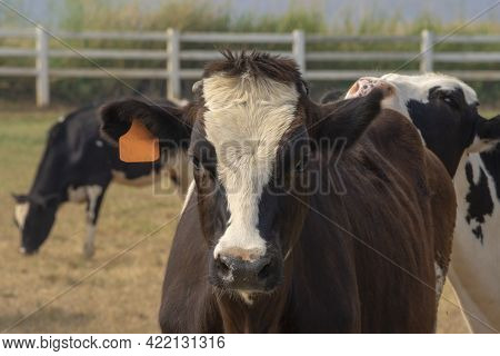 Black Pied Cow, In The Thailand, Standing On Green Grass In A Meadow Pasture.