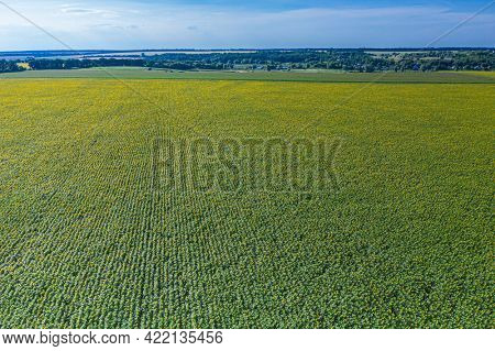 Panoramic view of sunflower field. Top view of sunflower heads. Picture is taken by drone.