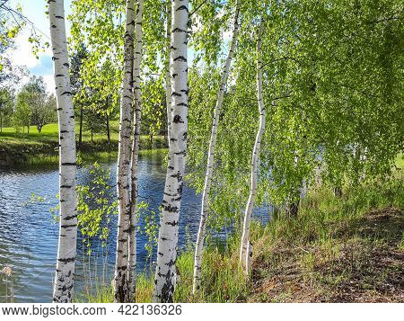 Beautiful Landscape View Of Birch Trees With Bright Green Leaves With Backlight And Lake Water Behin