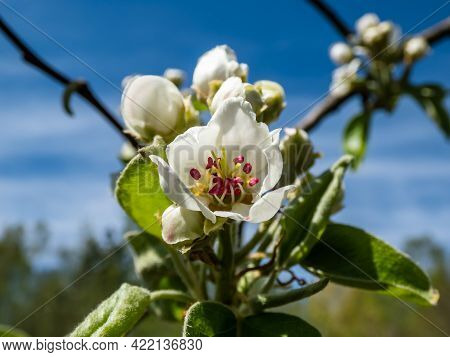 Beautiful Macro Shot Of White Blossom On A Branch Of Pear Tree, Flowers With 5 White Petals, Numerou