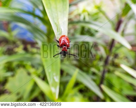 Macro Shot Of Adult Scarlet Lily Beetle (lilioceris Lilii) Sitting On A Green Lily Plant Leaf Blade