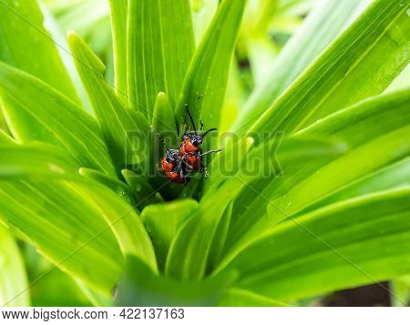 Macro Shot Of Two Adult Scarlet Lily Beetle (lilioceris Lilii) Pair Mating In The Middle Of A Green