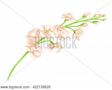 Watercolor Blush Matthiola Flower. Hand Drawn Cream Rose Flower Heads On Green Stem Isolated On Whit