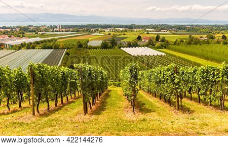 Vineyard Rows Overlooking Grape Fields, Wine Farm Near Bodensee, Germany. Green Vine Plantations In
