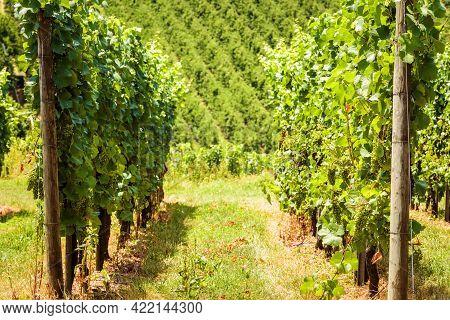 Vineyard Rows Overlooking Grape Field, Wine Farm In Valley. Green Vine Plantation In Summer. Concept