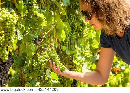 Young Woman Looks At Grapes In Vineyard, Female Winemaker Or Grower Works In Wine Farm. People At Vi