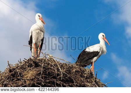 Storks On Nest Against Blue Sky, Couple Of White Storks Stands At Its Home. Wild Stork Family Living