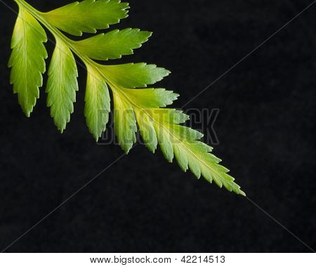 Yellow Green Fern Tip on Black