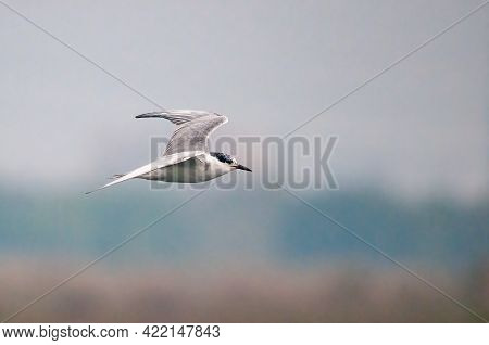 A Whiskered Tern Flying In The Sky