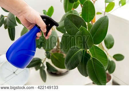 Ficus Elastica. Spraying Ficus Leaves From A Spray Bottle. Hand Sprinkles The Leaves Rubber Ficus. H