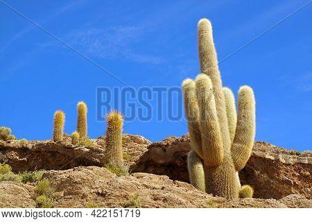 Many Of Gigantic Trichocereus Pasacana Cactus Plants On Isla Incahuasi Or Isla Del Pescado Rocky Out