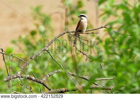 The Red-backed Shrike, Lanius Collurio, Is A Carnivorous Passerine Bird And Member Of The Shrike Fam