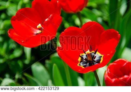 Large Beautiful Blossoming Tulips Against Background Of Green Leaves. Nature Spring Concept. Bloomin