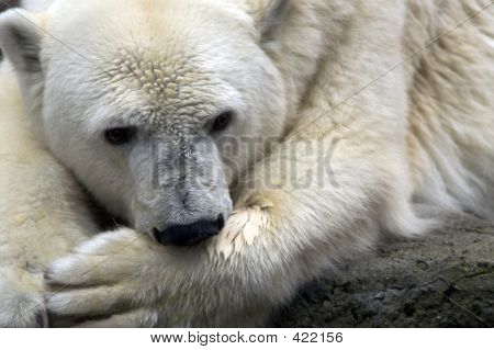 Polar Bear # 2