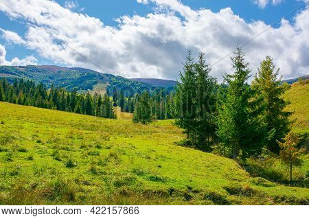 Mountainous Rural Countryside On A Sunny Day. Spruce Trees On The Grassy Meadow. Warm September Weat
