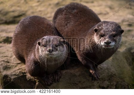 Two Oriental Small-clawed Otters On Stone, Aonyx Cinereus