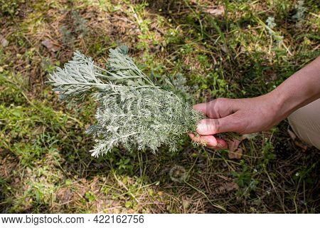 Female Hands Hold Branches With Wormwood Leaves. Artemisia Absinthium, Absinthe Wormwood Is A Natura