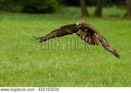 The Common Buzzard (buteo Buteo) Flying Very Close. Green Background. The Common Buzard Flying Direc