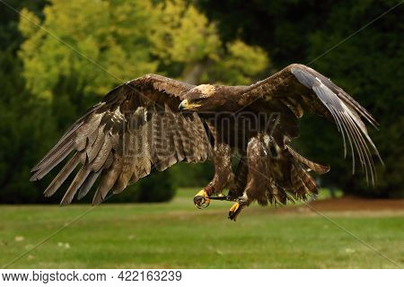 The Steppe Eagle (aquila Nipalensis) Is Flying Very Close To The Camerra. The Steppe Eagle Flying Po