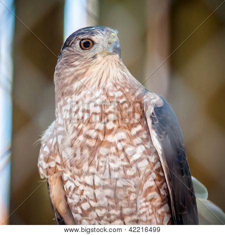 Sooper Hawk