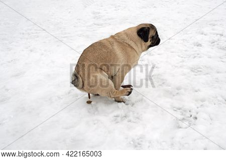 Pug Dog Sitting And Pooping On Snow. Winter Walking With Dog