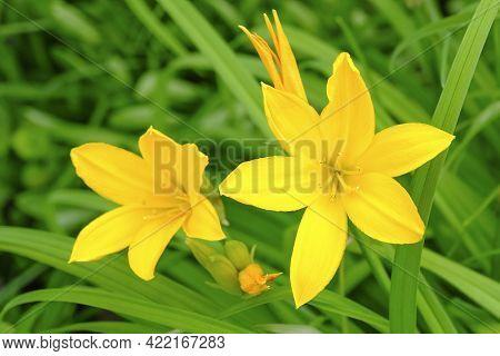 Hemerocallis Lilioasphodelus. Flowering Perennial Herb The Species Of The Genus, Family Silanikove D