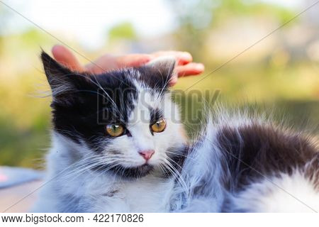 Defocus Female Hands Stroking And Caress Cute Adorable Black And White Cat, Kitten With Beautiful Di