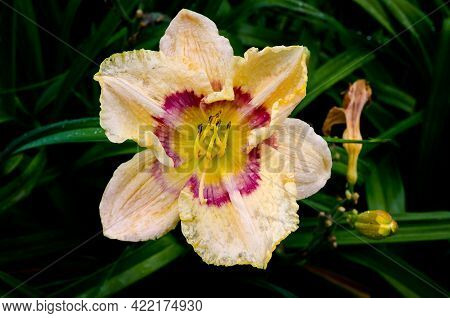 Picture Of Delicate Red Daylily After A Rain