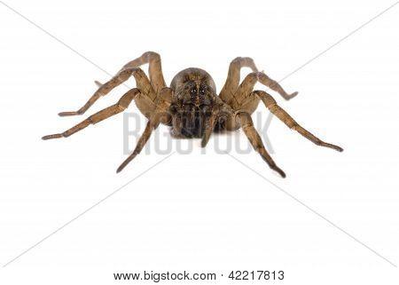 Wolf Spider Macro