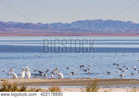 Usa, Ca, Salton Sea - December 28, 2012: Closeup Of White Pelicans And Other Birds Gathering On Nw S
