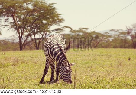 African plains zebras on the dry brown savannah grasslands browsing and grazing. African safari background